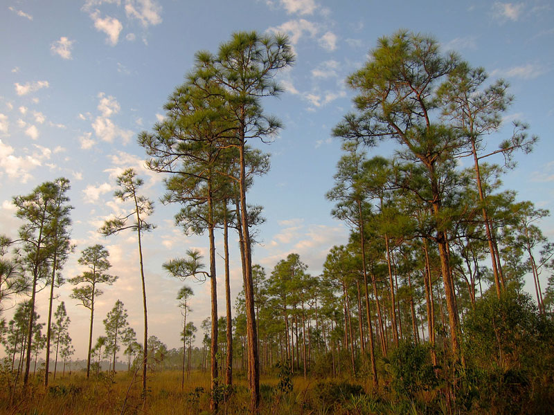 South_Florida_rocklands_on_Everglades_National_Park_Long_Pine_Key_Nature_Trail